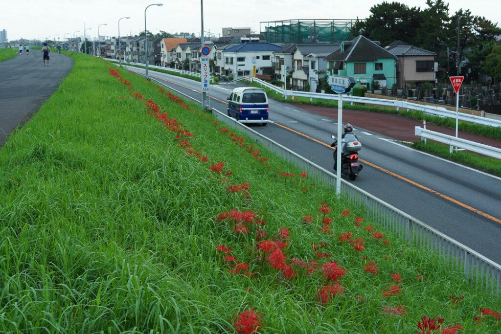 篠崎街道沿いの彼岸花