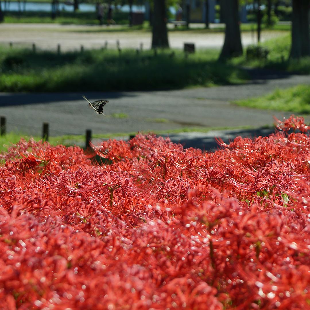 水元公園 彼岸花と蝶